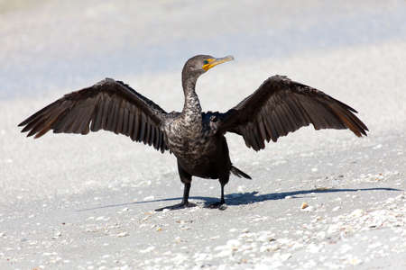 carbo: Cormorant(Phalacrocorax carbo) perching on the beach and open wings Stock Photo