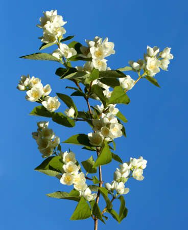 philadelphus: English dogwood (Philadelphus coronarius) a branch with white blossoms, blue background