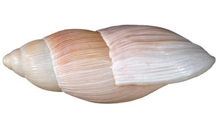 Rosy wolfsnail (Euglandina rosea) shell from side, isolated
