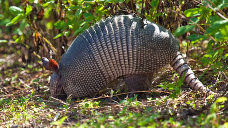 unusually: Armadillo (Dasypus novemcinctus)Honeymoon Island State Park, Florida