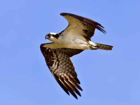osprey: Osprey flying against blue sky