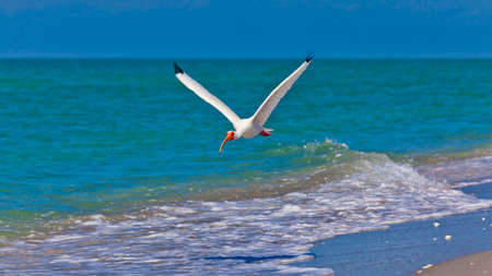 Ibis (Threskiornithinae) flying over beach photo