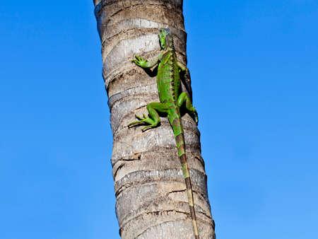 Green Iguana (Iguana iguana) on trunk photo