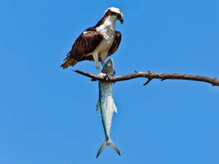 Osprey (Sea Hawk) with fish photo