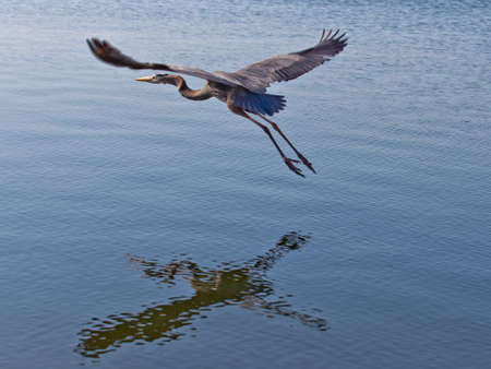 wing span: Great blue heron, flying and with reflection on water