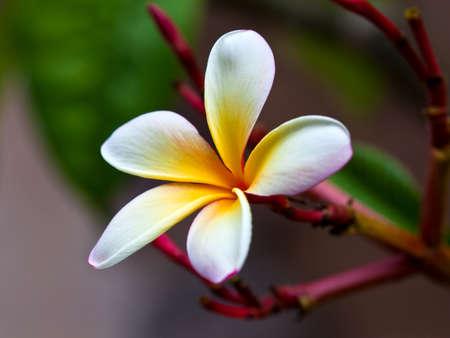 Frangipani (Plumeria alba) beautiful blossom in white and yellow, close-up photo