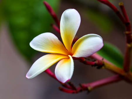 beatuful: Frangipani (Plumeria alba) beautiful blossom in white and yellow, close-up