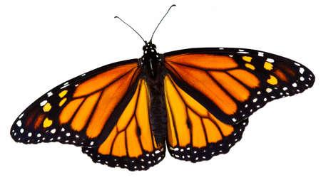 danaus: Monarch Butterfly (Danaus plexippus) isolated