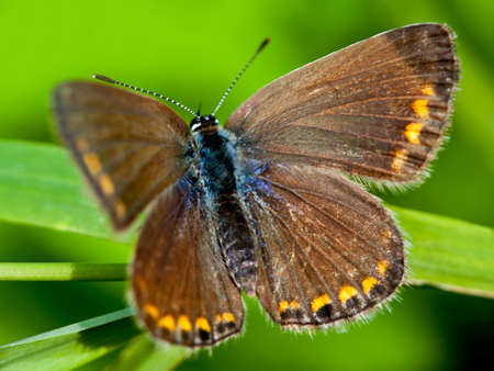polyommatus icarus: Common Blue  (Polyommatus icarus) female Stock Photo