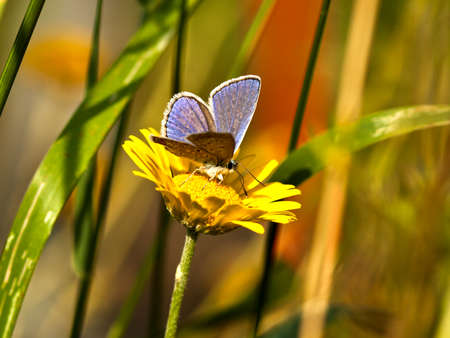 polyommatus icarus: Common Blue  (Polyommatus icarus) male Stock Photo