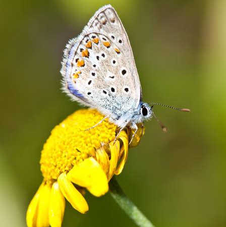 common blue: Common Blue  (Polyommatus icarus) with closed wings on a yellow flower  Stock Photo