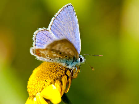 Common Blue  (Polyommatus icarus) on a yellow flower with open wings photo
