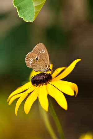 Ringlet (Aphantopus hyperantus) on a yellow flower with a green leaf