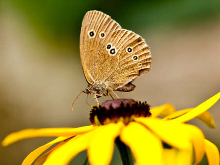 aphantopus: Ringlet (Aphantopus hyperantus) on a yellow flower