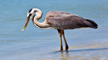 Great blue heron (Ardea herodias)  catching a fish Stock Photo
