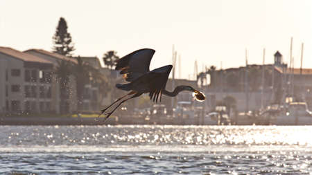 Great blue heron (Ardea herodias) flying with food in the evening mood