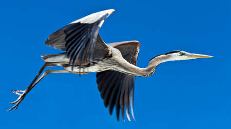 Great blue heron (Ardea herodias) in flight against blue sky Stock Photo