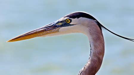 tenderly: Great blue heron (Ardea herodias) portrait