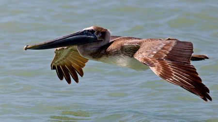 pelecanidae: Pelican, Pelecanidae, gliding Stock Photo