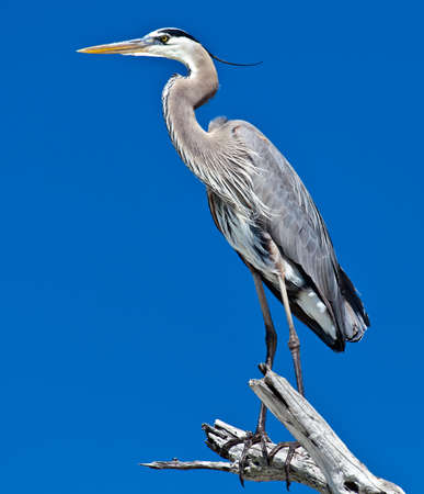 Great blue heron (Ardea herodias) on an old tree