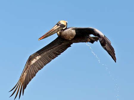 pelecanidae: Pelican, Pelecanidae, in flight and...