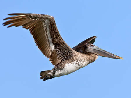 pelecanidae: Pelican, Pelecanidae, in flight against blue sky