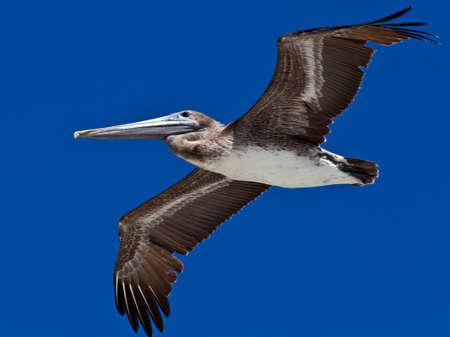 pelecanidae: Pelican, Pelecanidae, in flight against dark blue sky
