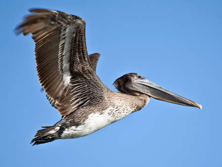 pelikan: Pelican, Pelecanidae, in flight against blue sky