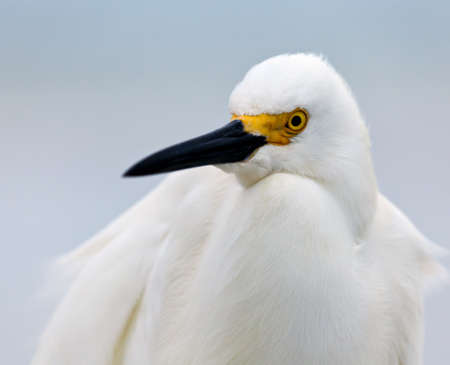 Snowy egret, Egretta thula, portrait, looking a bit to the left photo