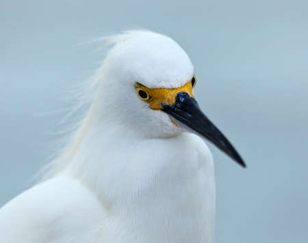 Snowy egret, Egretta thula, portrait, looking downwards photo