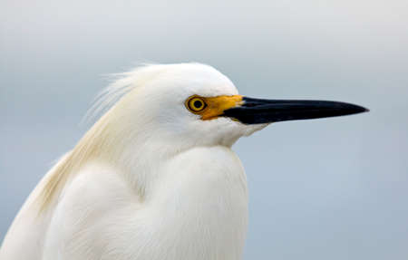 Snowy egret, Egretta thula, portrait, relaxing photo