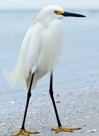 Snowy egret, Egretta thula, standing on a sandy beach Banco de Imagens