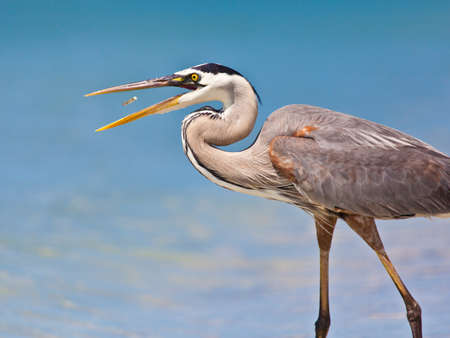 Great blue heron, Ardea herodias,  catching a fish