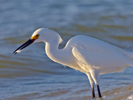 bird eating raptors: Snowy egret, Egretta thula, eating a fish