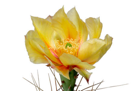 cactus: Yellow blossom from cactus Opuntia phaecantha isolated
