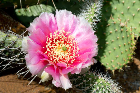 opuntia: Cactus Opuntia phaecantha with pink blossom Stock Photo