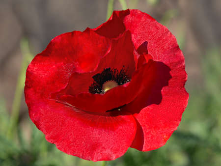 papaver: Poppy Papaver Stock Photo