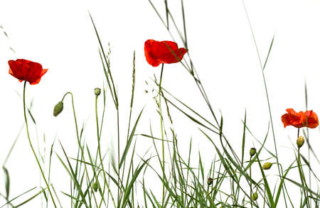 red poppies on green field: Red poppies in green field against white background