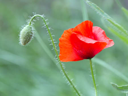 papaver: Poppy, Papaver, with Bud in the wind Stock Photo
