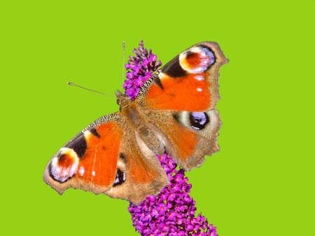 peacock butterfly: Mariposa del pavo real Aglais io en lila de verano contra el fondo verde.
