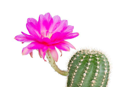 mexico cactus: Echinopsis Hybride with pink blossom against white background
