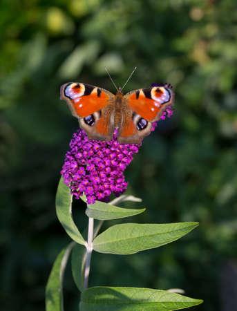 peacock butterfly: Mariposa del pavo real Aglais io se encarama en una rama de la lila de verano, el personal de color verde oscuro de fondo. Foto de archivo