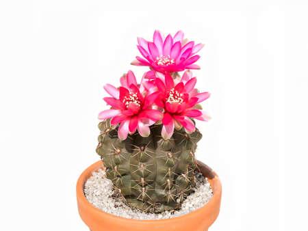 cactus botany: Cactus Gymnocalycium baldianum in pot, isolated, background white