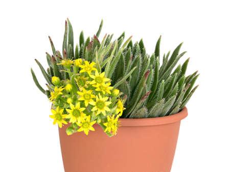 gran: Aeonium simsii Gran Canaria in pot, Canary Islands