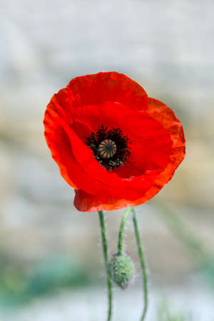 papaver: Red poppy, Papaver, blooming in red