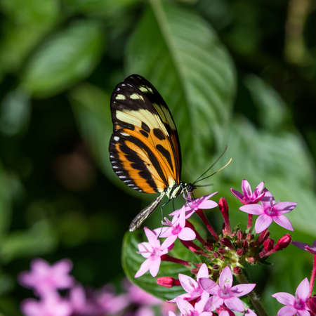 longwing: Butterfly longwing, Isabellas (Eueides isabella) on pink blossom Stock Photo
