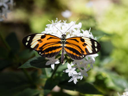 Butterfly Longwing, Isabellas (Eueides isabella) on white blossom Stock Photo