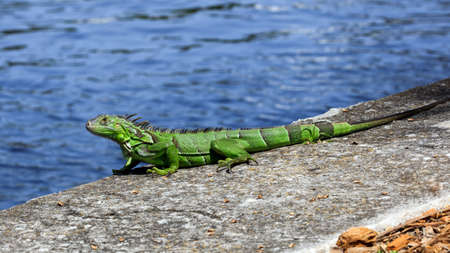 Green iguana on top of a wall, water in the background, Florida, USA