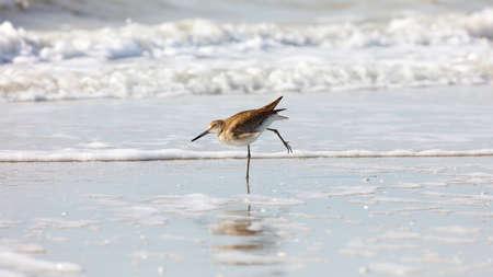 freshwater bird: Short-billed Dowitchers (Limnodromus griseus) dancing in the morning sun, Florida, USA Stock Photo