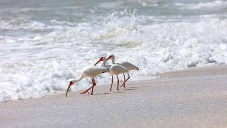 wade: Three white ibises (Eudocimus albus) on the wild shore, looking for craps, Sanibel Island, Florida, USA Stock Photo